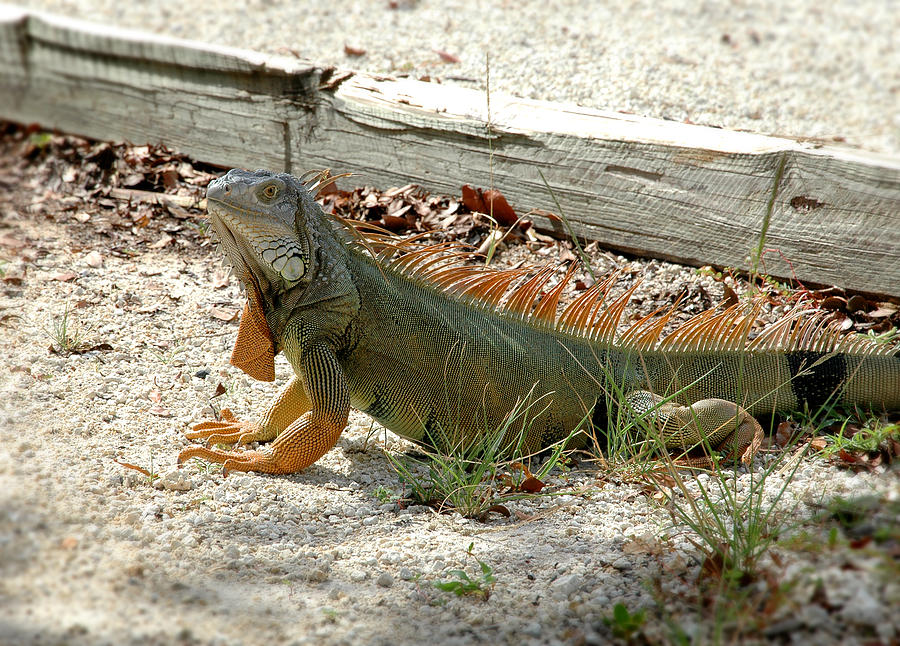 Iguana Photograph - Iguana 2 - Key Largo by Frank Mari