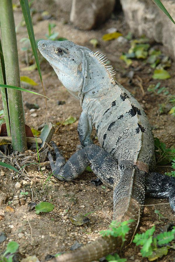 Photo Photograph - Iguana Ben by Angel Ortiz