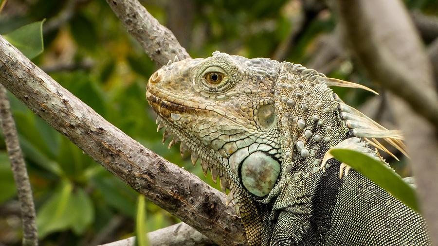 Florida Photograph - Iguana by Frank Mari