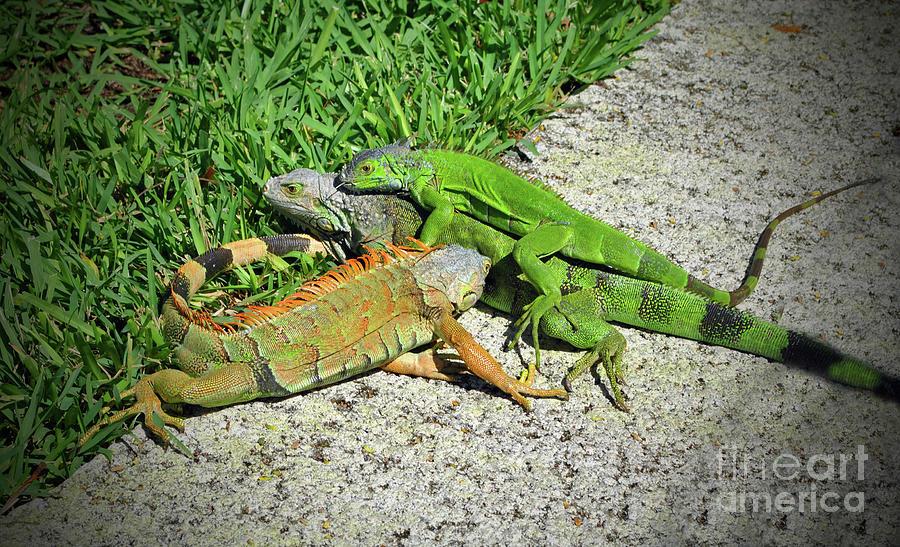 Key West Photograph - Iguana Love in the Keys by Jost Houk