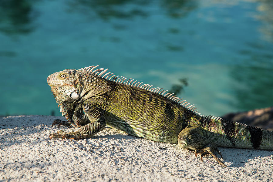 Iguana On Rocks Photograph