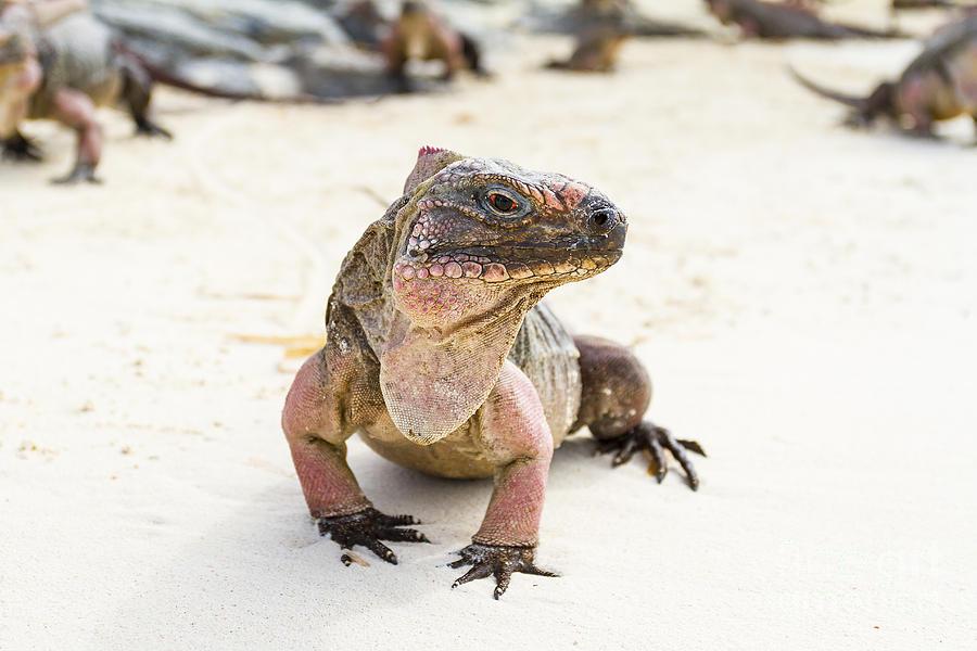Iguana Photograph - Iguana On The Beach by Pier Giorgio Mariani