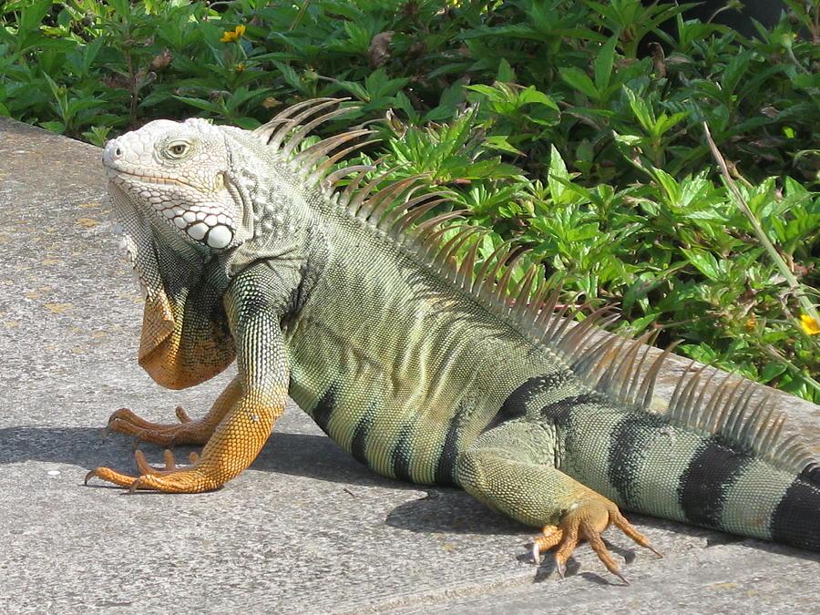 Iguania Photograph - Iguania Sunbathing by Christiane Schulze Art And Photography