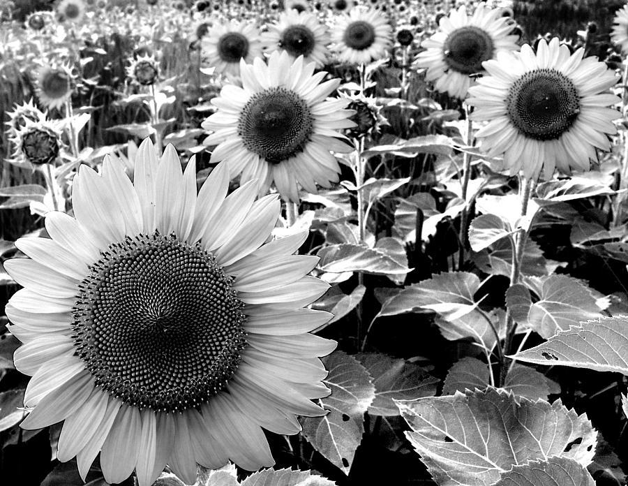 Sunflowers Photograph - Illinois Sunflowers by Todd Fox