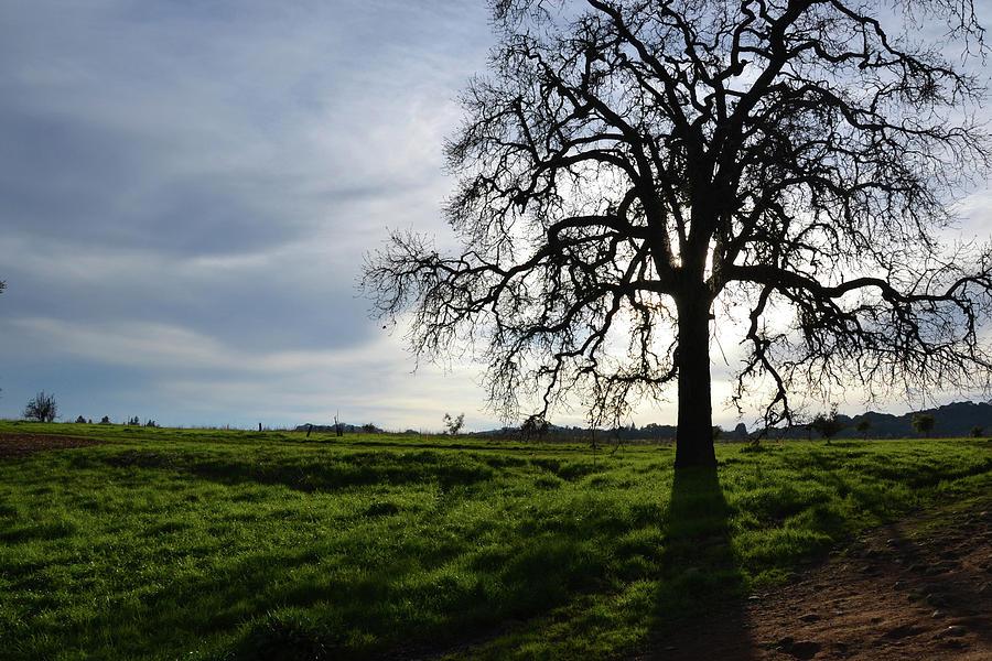 Tree Photograph - Illumined Tree by D Patrick Miller