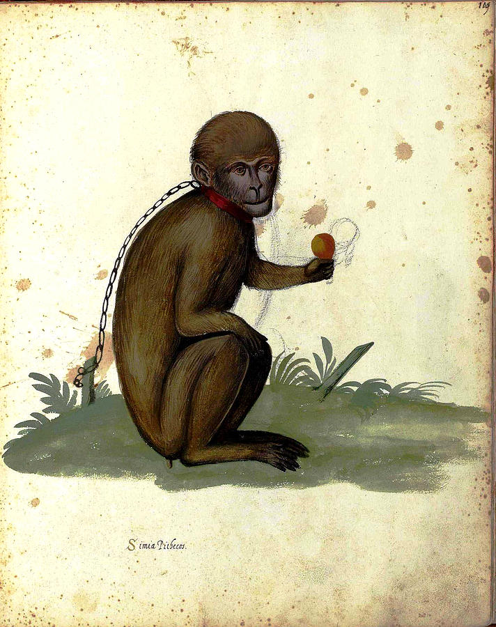 Monkey Painting - Illustration For A Book By Italian Scientist And Naturalist Ulisse by Unknown