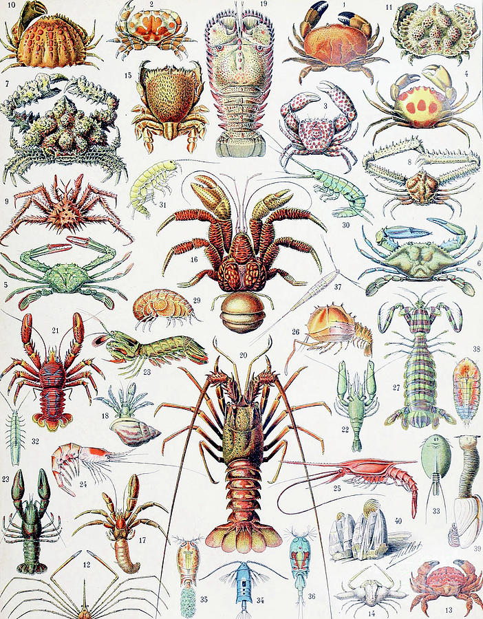Crabs Drawing - Illustration Of Crustaceans, 1923 by Adolphe Philippe Millot