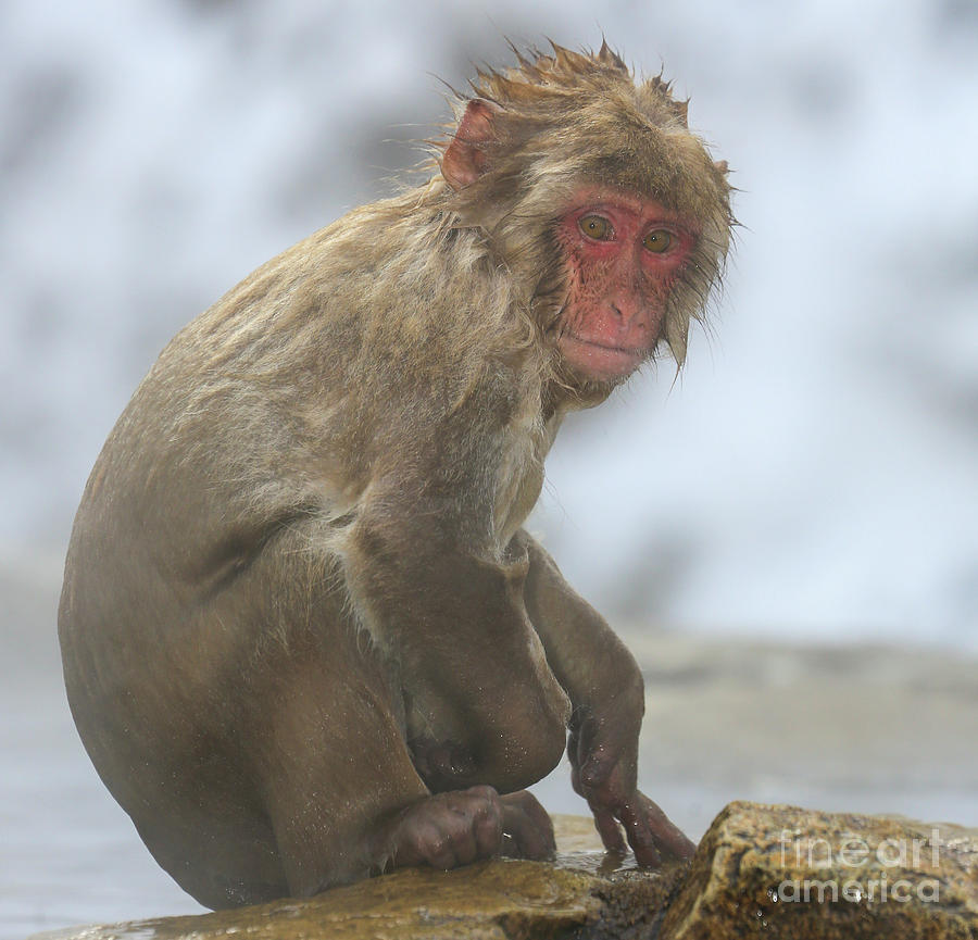 Snow Monkeys Photograph - Im Cold by Leigh Lofgren