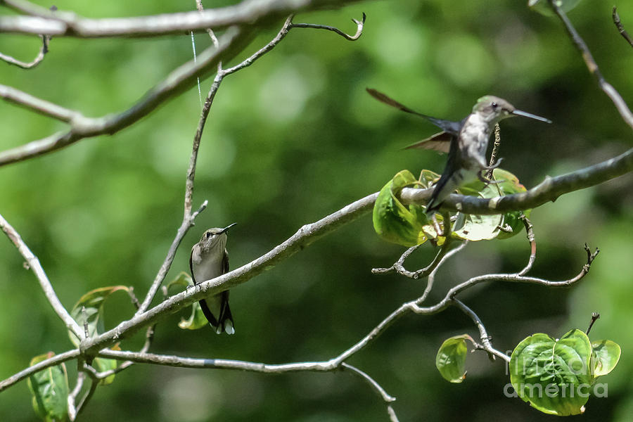 Hummingbirds Photograph - Im Coming For You by Tammy Hyatt