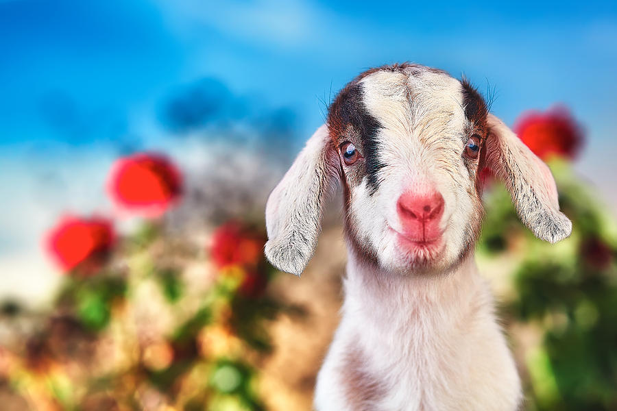Baby Goat Photograph - Im in the Rose Garden by TC Morgan