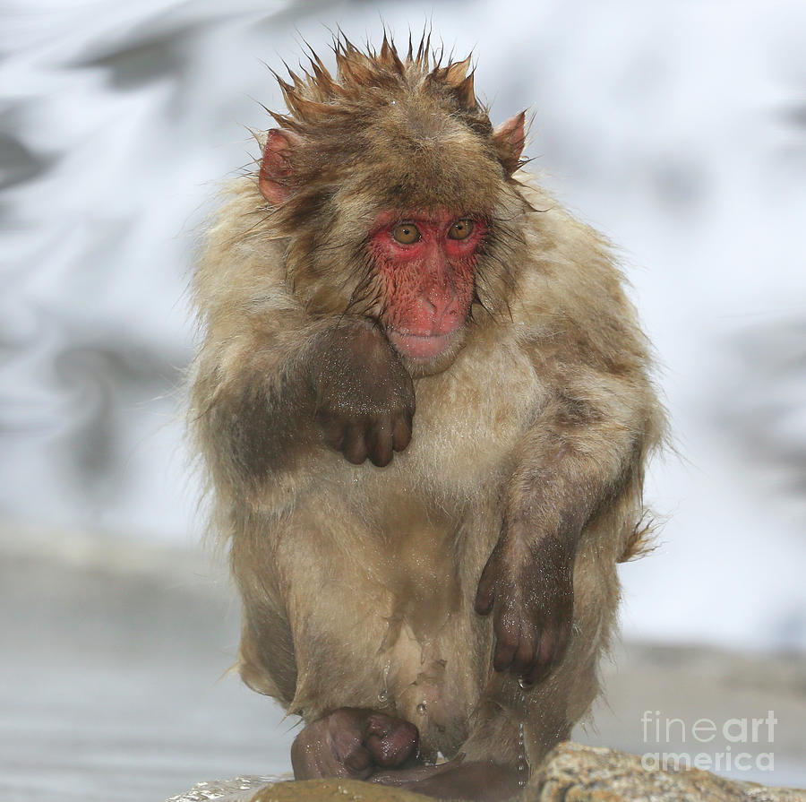 Snow Monkeys Photograph - Im Just Cold by Leigh Lofgren