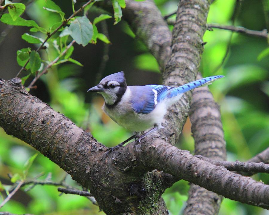 Blue Jay Photograph - Im Looking - Blue Jay by Herbert L Fields Jr