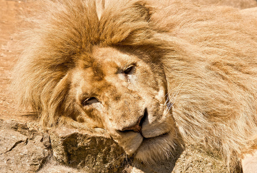 Lion Photograph - Im Sleeping by Scott Carruthers