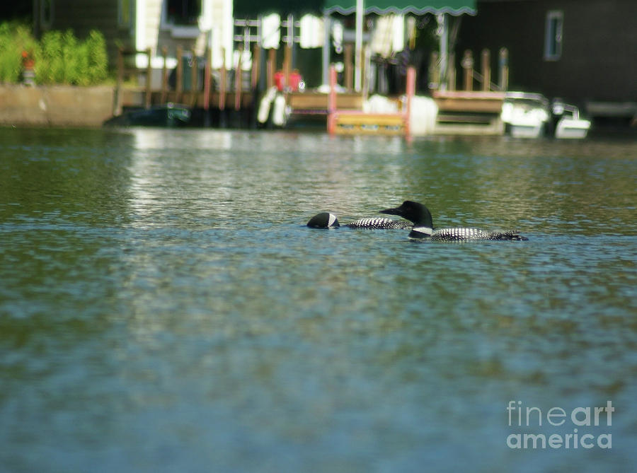 Loons Photograph - Im So Embarrassed by Judy Carr