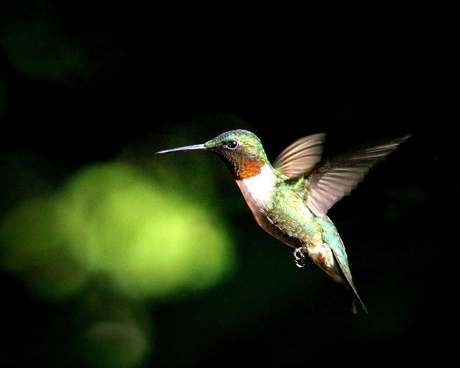 Ruby-throated Hummingbird Photograph - Img_0284-006 - Ruby-throated Hummingbird by Travis Truelove