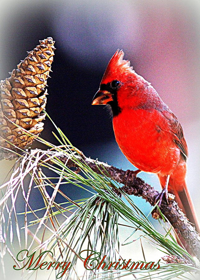 Img_0397-014 - 5x7 - Card -  Northern Cardinal Photograph