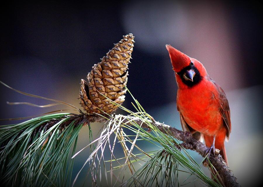 Img_0406-001 - Northern Cardinal Photograph
