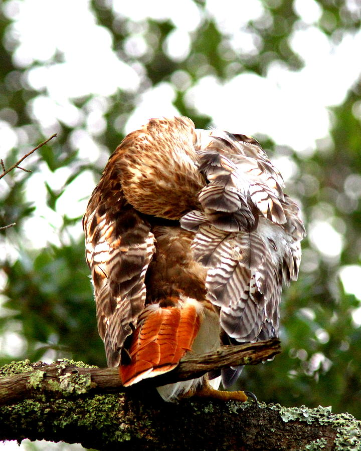 Red-tailed Hawk Photograph - Img_1049-006 - Red-tailed Hawk by Travis Truelove