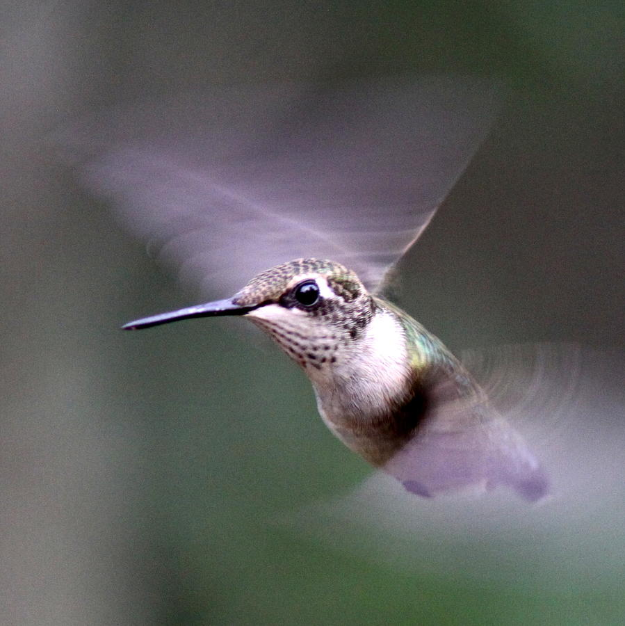 Img_2223-018 - Ruby-throated Hummingbird Photograph