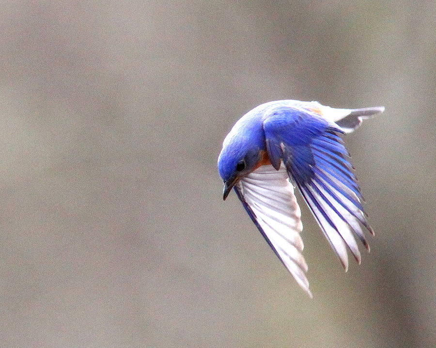 Eastern Bluebird Photograph - Img_4138-003 - Eastern Bluebird by Travis Truelove