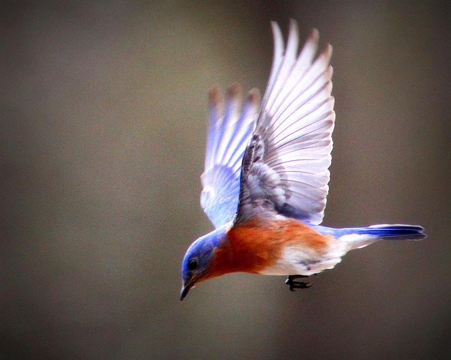 Eastern Bluebird Photograph - Img_4139-003 - Eastern Bluebird by Travis Truelove