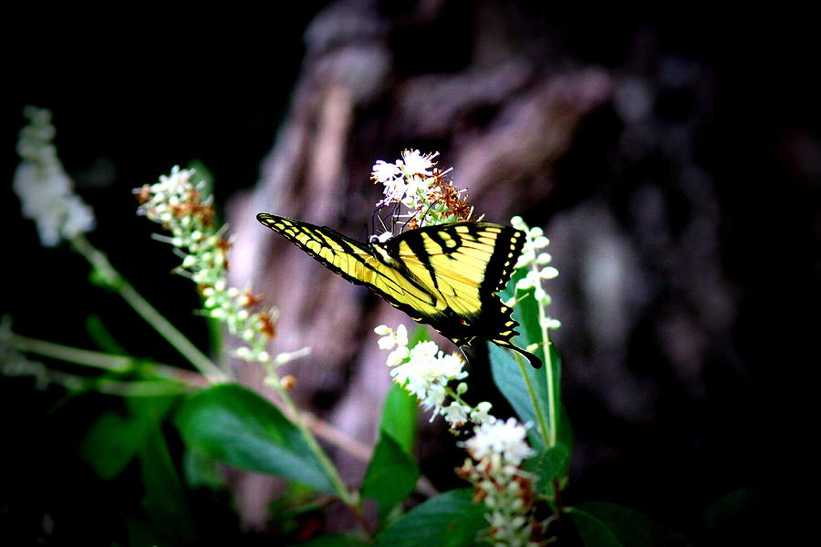 Tiger Swallowtail Butterfly Photograph - Img_8960 - Tiger Swallowtail Butterfly by Travis Truelove