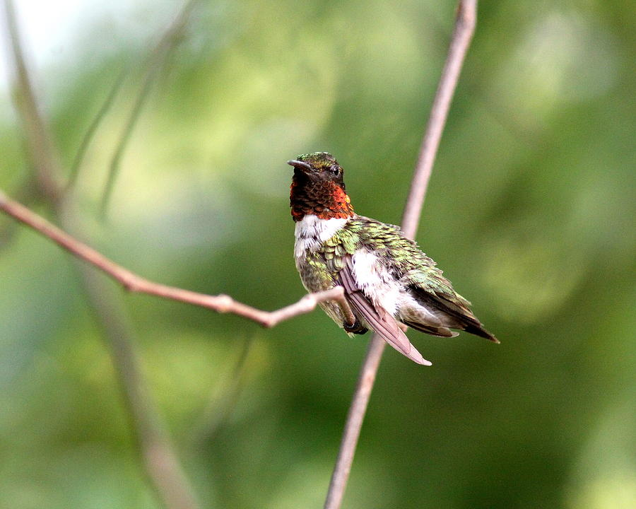 Img_9606-001 - Ruby-throated Hummingbird Photograph