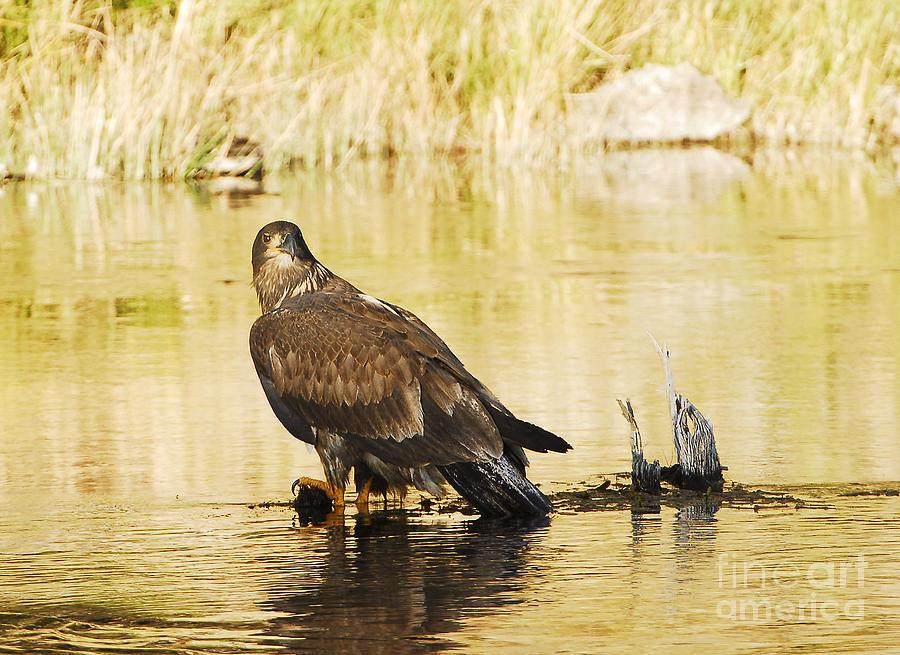 Bird Photograph - Immature Bald Eagle by Dennis Hammer