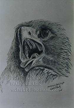 Birds Drawing - Immature Bald eagle by Wade Clark