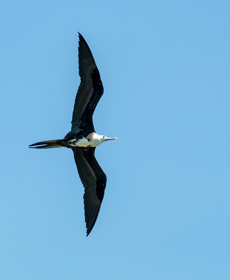 Magnificent Frigatebird Photograph - Immature Magnificent Frigatebird by Norman Johnson