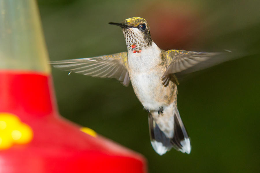 Ruby-throated Hummingbird Photograph - Immature Male Ruby-throated Hummer by Robert L Jackson