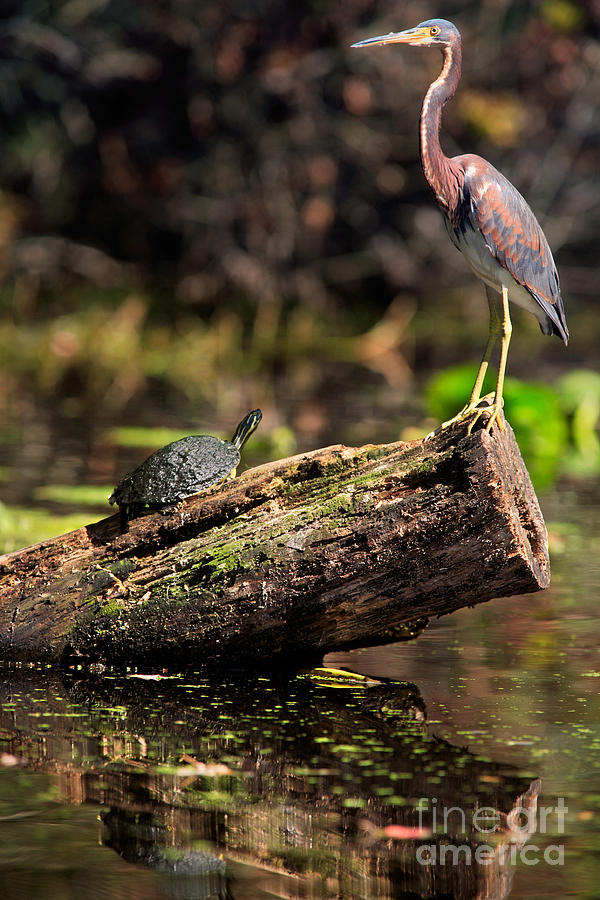 Immature Photograph - Immature Tri-colored Heron And Peninsula Cooter Turtle by Matt Suess