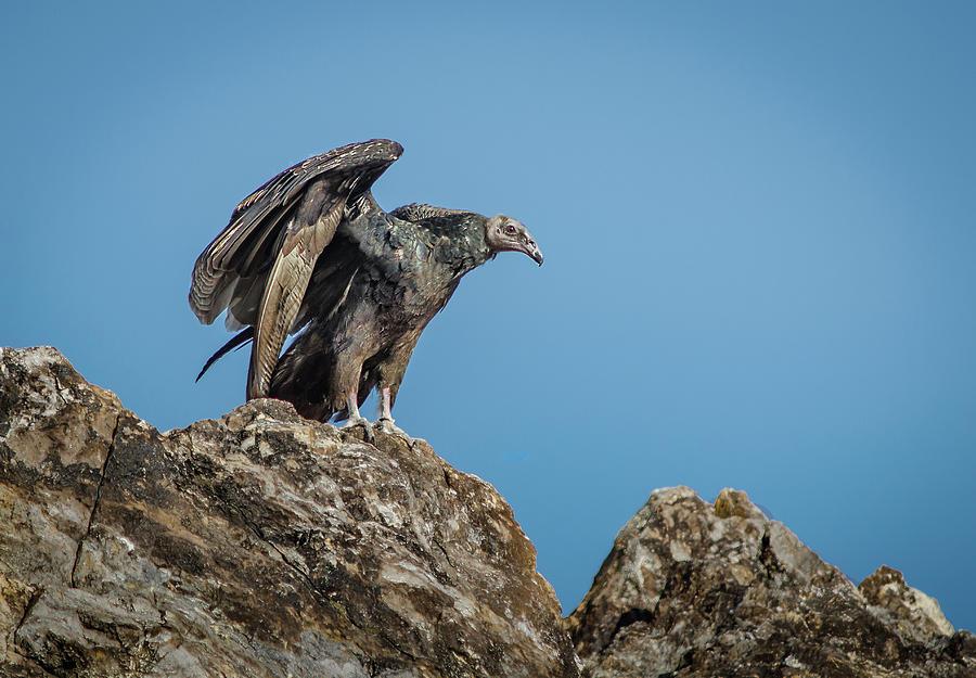 Turkey Photograph - Immature Turkey Vulture 3 by Rick Mosher