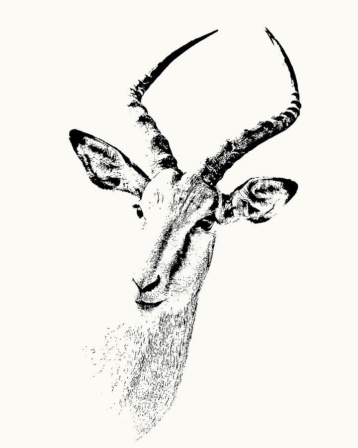 Impala Antelope Portrait by Scotch Macaskill