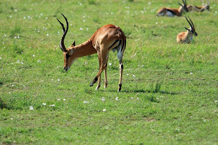 Deer Photograph - Impala Buck by Aidan Moran