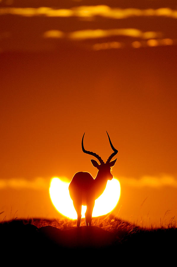 Sunrise Photograph - Impala In The Sun by Muriel Vekemans
