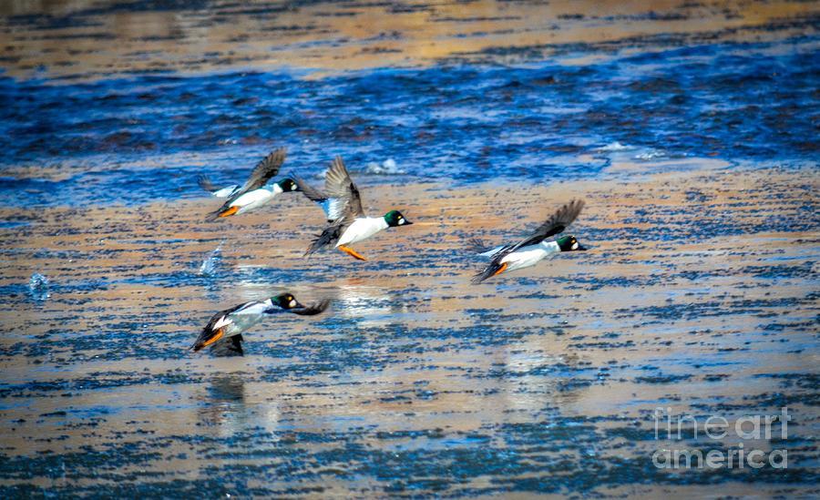 Impressive Ducks In Flight Photograph