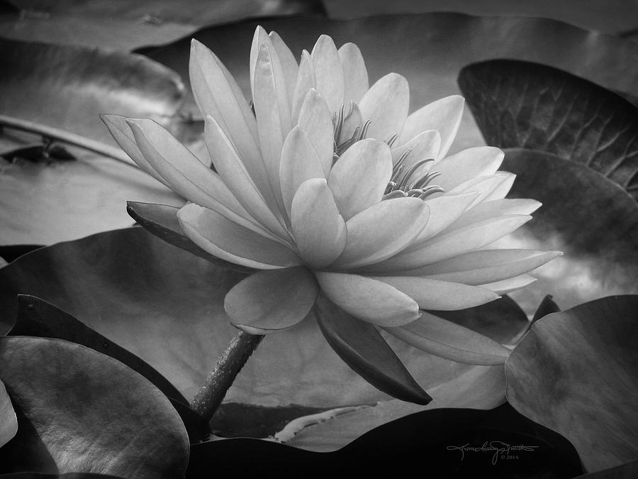 Water Lily Photograph - In A Mermaids Garden - Monochrome Version by Karen Casey-Smith