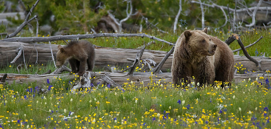 Grizzly Bear Photograph - In Bloom by Sandy Sisti