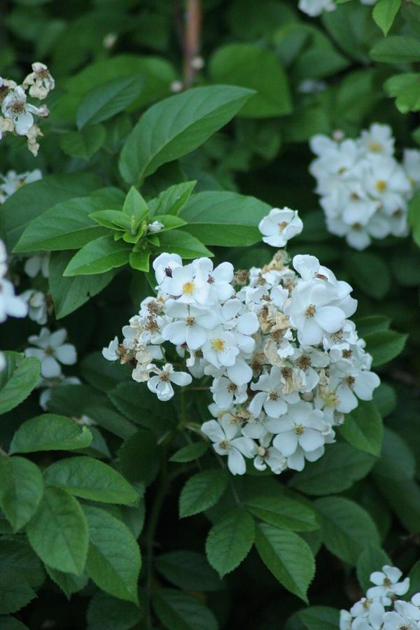 Flowers Photograph - In Bloom by ShadowWalker RavenEyes Dibler