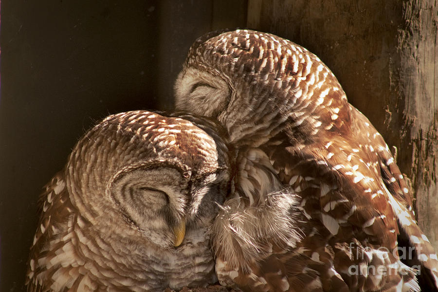 Barred Owls Photograph - In Cohoots by John Hartung