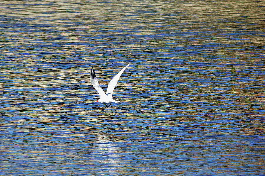 In Flight Caspian Tern Photograph