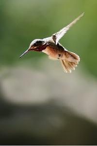 Hummingbird Photograph - In Flight by Misty Alger