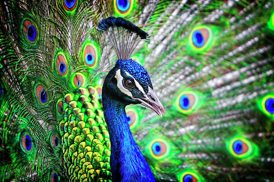Beauty Photograph - In Full Display by Lincoln Rogers