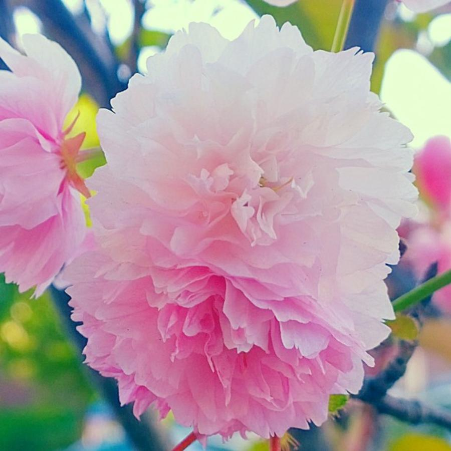Pink Photograph - In Love With This Delicate #pink #tree by Shari Warren
