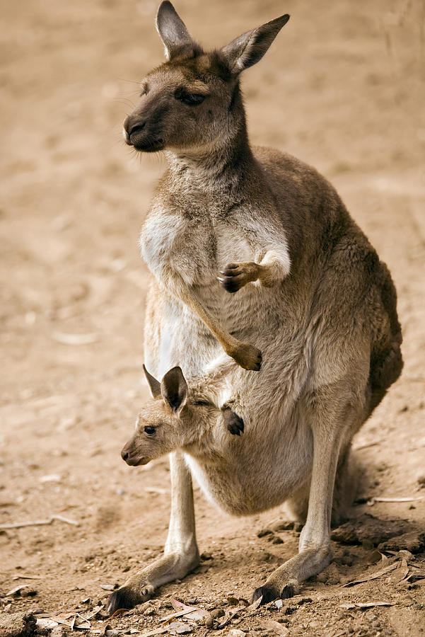 Kangaroo Photograph - In  Mothers Care by Mike  Dawson