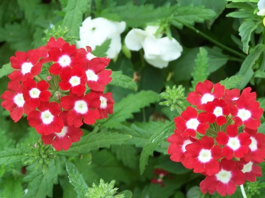 Red Photograph - In My Flower Garden by Lila Mattison
