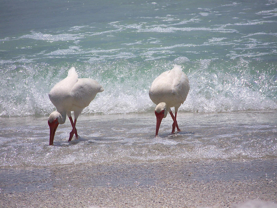 White Ibis Photograph - In Paired by Amanda Vouglas