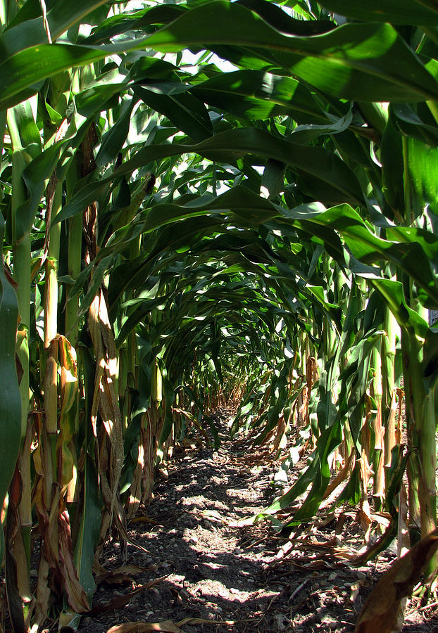 Corn Photograph - In The Corn  by Joanne Coyle