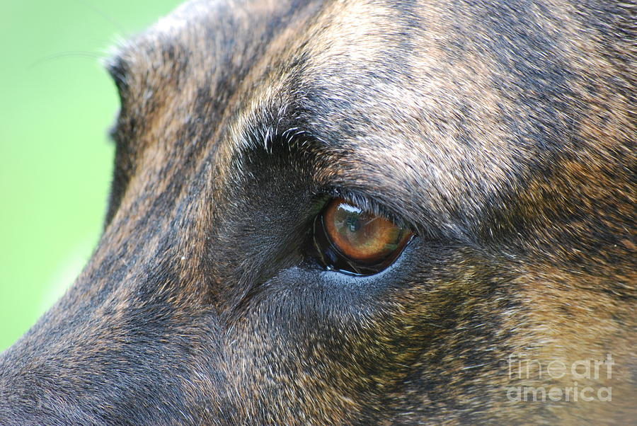 Great Dane Photograph - In The Eyes Of A Dog by Lila Fisher-Wenzel